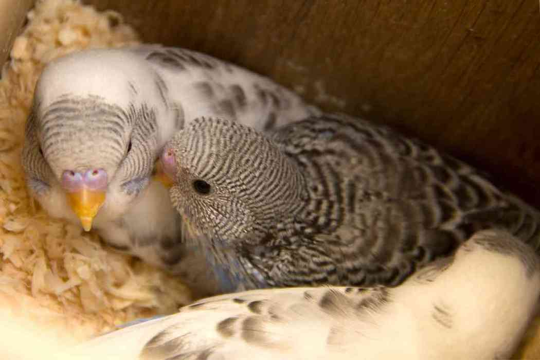 Why Do Parakeets Eat Their Eggs?