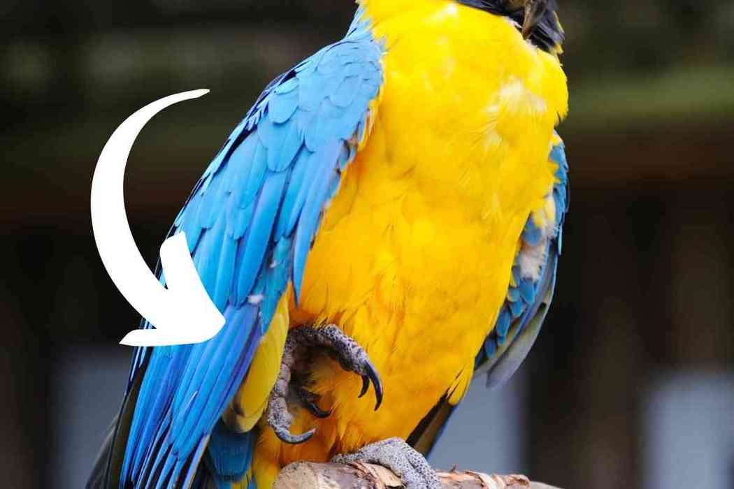 Why Do Parakeets Stand On One Foot?