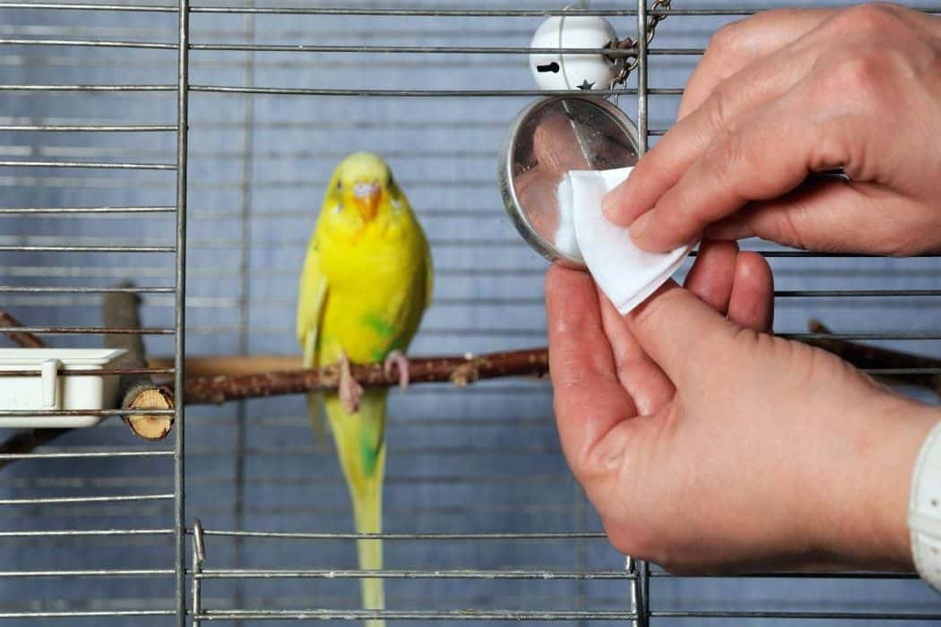 Why Does My Parakeet Eat His Poop?