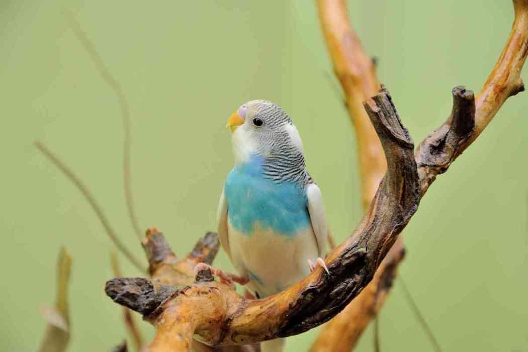 Why Is My Parakeet Clicking Its Beak?