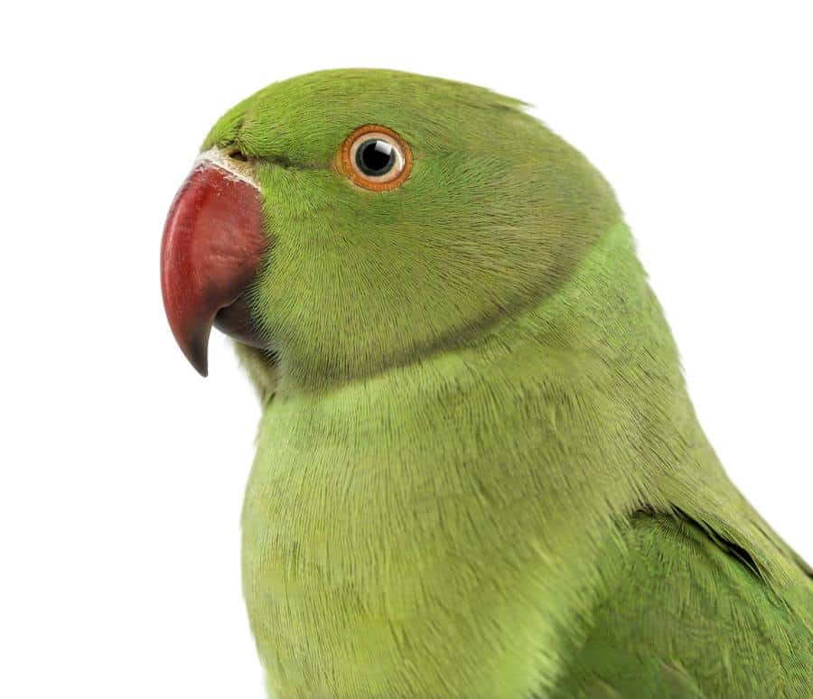 Close up of a Rose-ringed Parakeet, Psittacula krameri, also known as Ring-necked Parakeet
