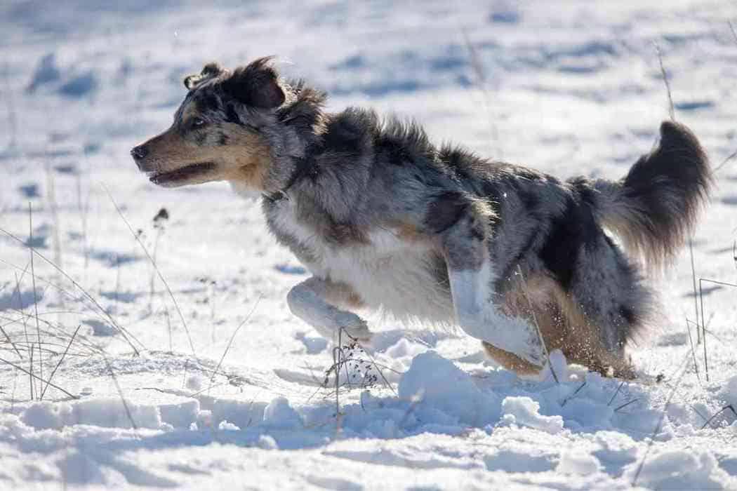 Are Australian Shepherds Good Guard Dogs?