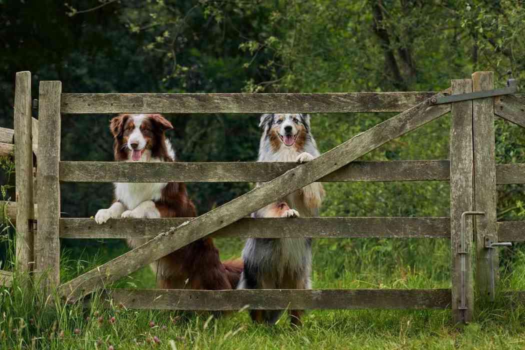 Can Australian Shepherds Be Kept Outside?
