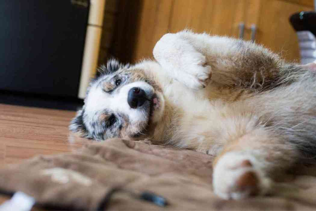 Do Australian Shepherds Like To Cuddle?