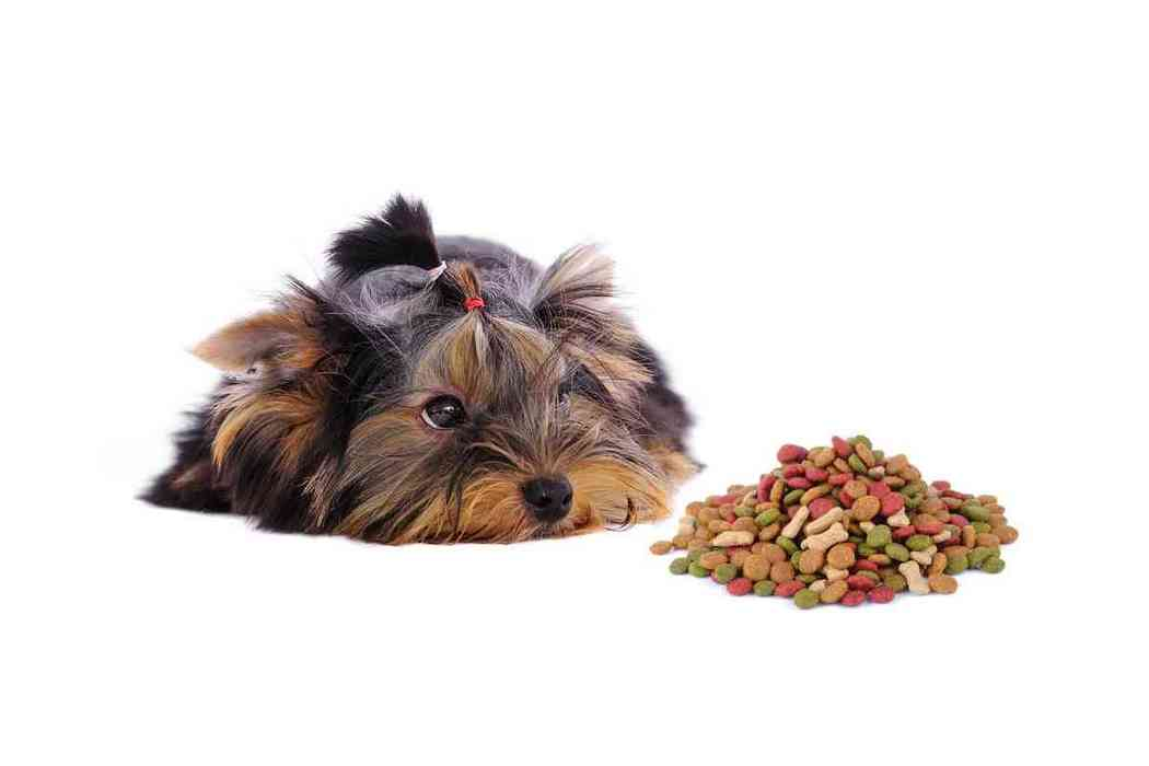 How Long After Eating Do Yorkies Poop?