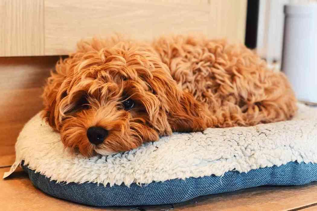 How Long Do Cavapoo Puppies Sleep?
