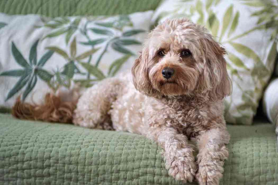 How Long Does A Cavapoo Live?