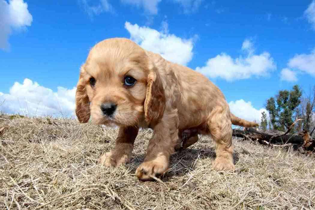 How Long Does It Take To Potty Train A Cavapoo?