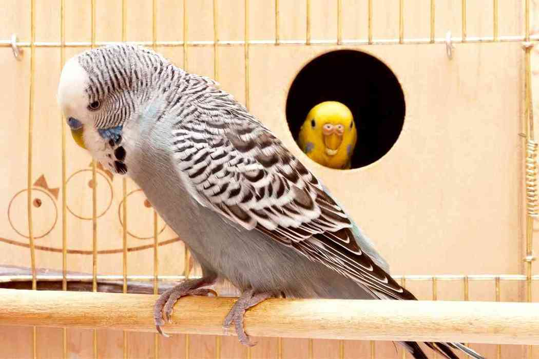 Why Is My Parakeet Bobbing His Head?