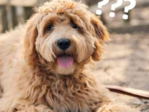 Are Labradoodles Expensive?