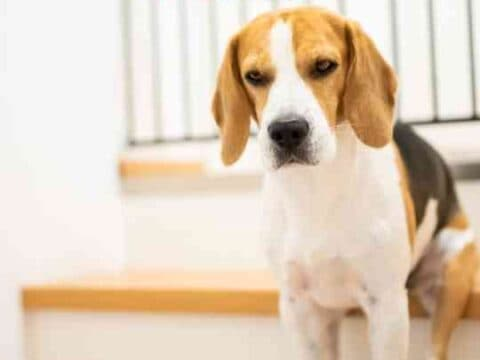 How Long Can A Beagle Be Left Alone?