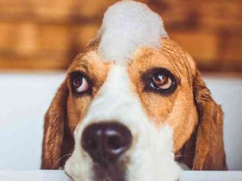 How Often Can You Bathe A Beagle?
