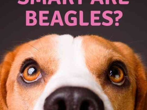 How Smart Are Beagles?
