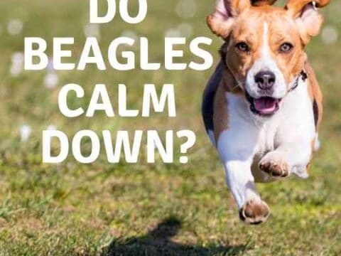 What Age Do Beagles Naturally Calm Down?