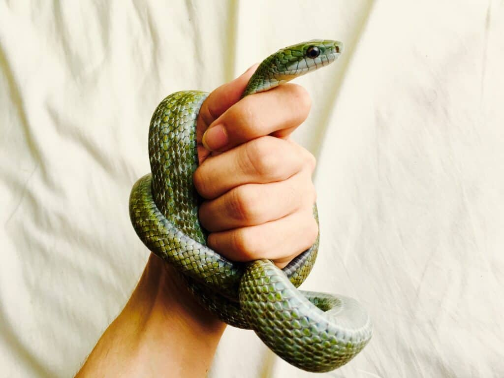 Can Pet Snakes be Affectionate to Their Owners?